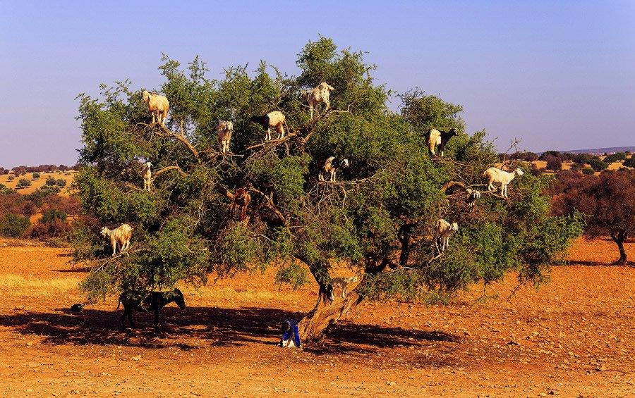 COP22: Entretien exclusif avec l'arganier